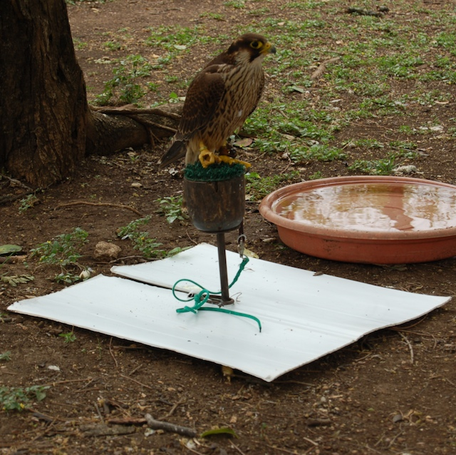a falcon sitting over a corex mat